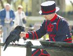 A Yeoman Warder and a Raven