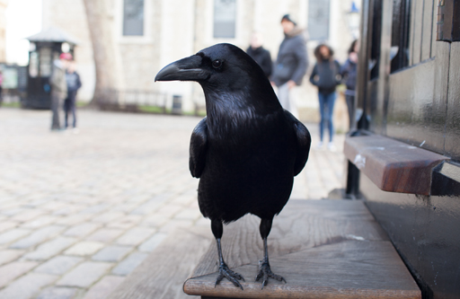 The ravens at the Tower of London