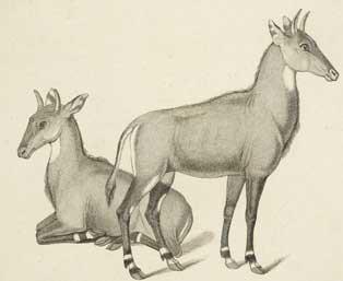GazellesMenagerie